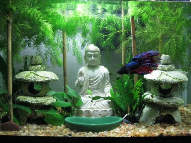 Budda w akwarium (9)